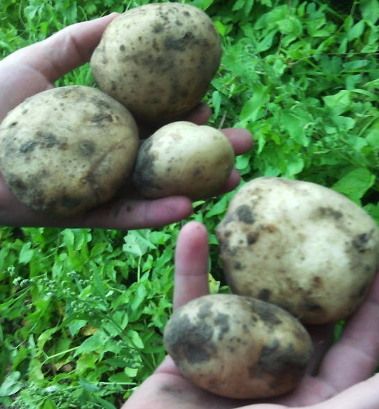 картофель гала описание сорта