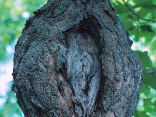 Рак ствола дерева