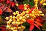 Россыпь жёлтых рябиновых ягод