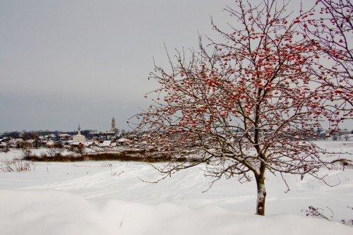 Рябина под снегом зимой