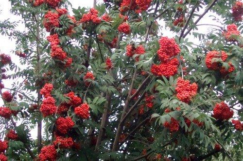 Рябина с кистями ягод