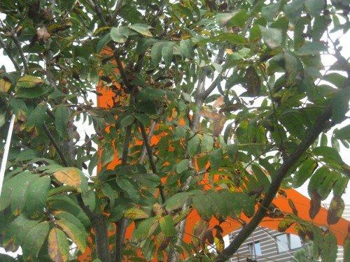 Рябина с пятнистыми листьями