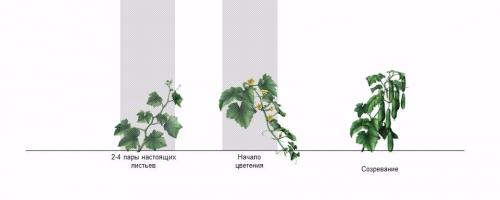 Схема фаз роста огурца