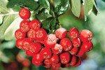 Спелые ягоды рябины на ветке