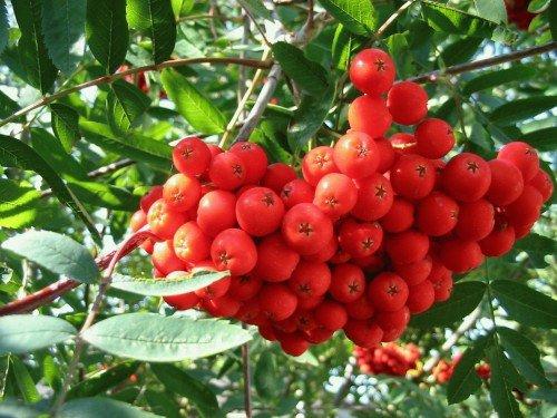 Урожай ягод рябины