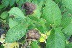 Увядающие листья картофеля