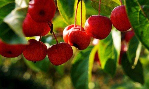 Вишнеплодная яблоня