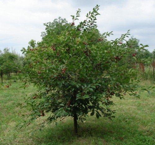 Дерево вишни сортаШалунья