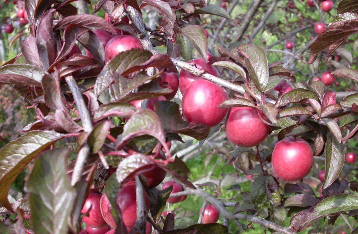 Алыча дерево плодовые и ягодные культуры как растет описание опылители