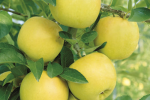 Сорт яблони Альминское