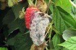 Гниющая ягода малины