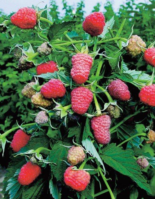 Гроздь ягод малины