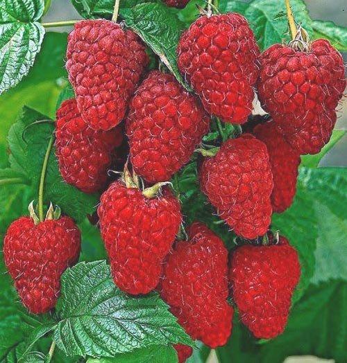 Гроздь ярко-красных ягод малины