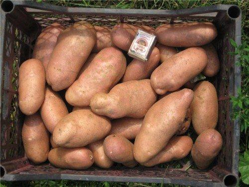 Картофель сорта Ранняя роза