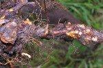 Корень малины с бактериальным раком