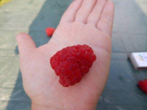 Крупная ягода малины на ладони