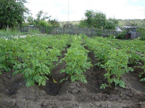 Кусты картофеля Адретта