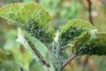 Зелёная тля