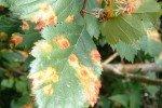 Листья с ржавчиной