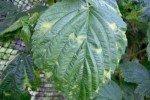 Листья малины с жёлтыми пятнами
