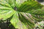 Листья с белой пятнистостью