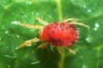 Маленький паутинныйклещ