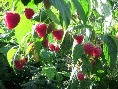 Малина с созревающими ягодами