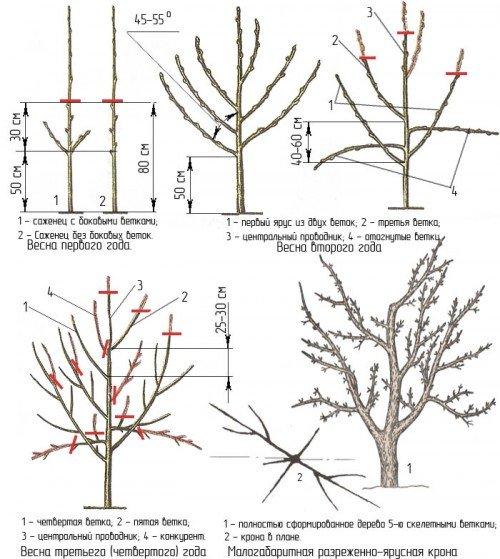 Подробная схема весенней обрезки груши