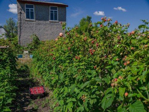 Посадки малиновых деревьев
