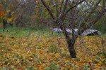 Преждевременное опадение листьев