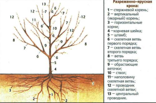 Разреженно-ярусная крона дерева