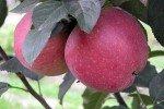 Сорт яблони Роял Ред Делишес