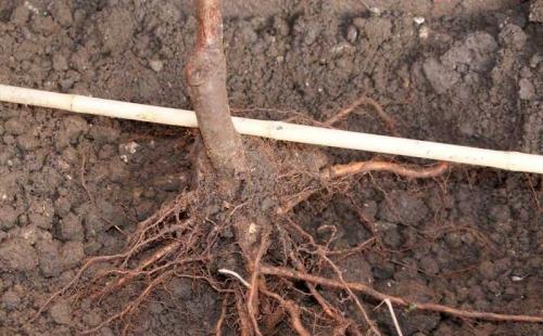Расположение саженца груши с голыми корнями в посадочной яме