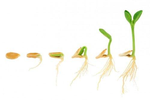 Этапы прорастания семечка