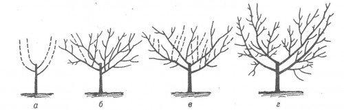 Схема формирования чашеобразной кроны персика