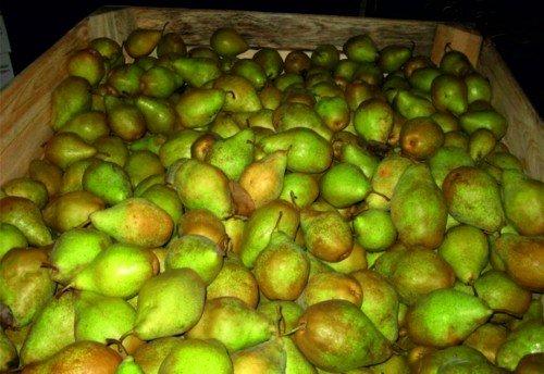 Собранные плоды груши сорта Ноябрьская