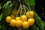 Сорт черешни Дрогана жёлтая