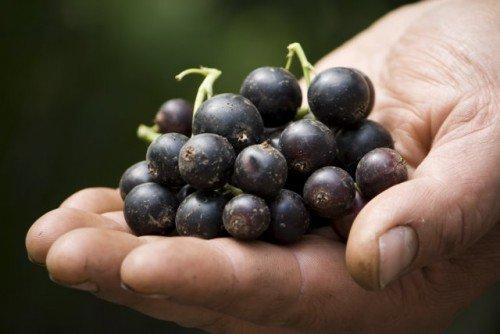 Сорт чёрной смородины Селеченская