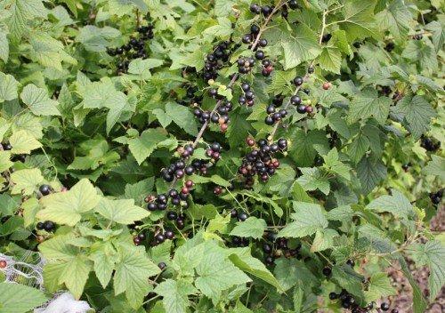 Сорт чёрной смородины Селеченская 2