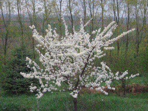 Сорт сливы Маньчжурская красавица