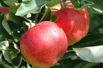 Сорт яблони Делишес спур