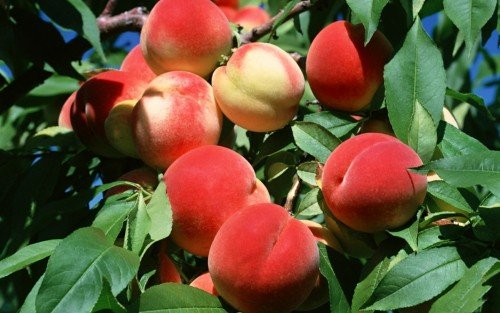Урожай персиков
