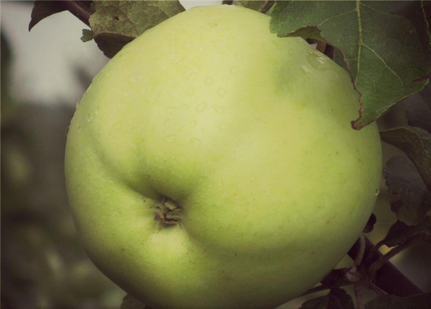 Яблоко сорта Народное