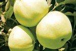 Сорт яблони Янтарное