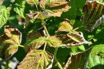 Засохшие листья малины