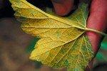 Жёлтая прожилковая мозаика