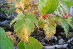 Жёлтые больные листья малины