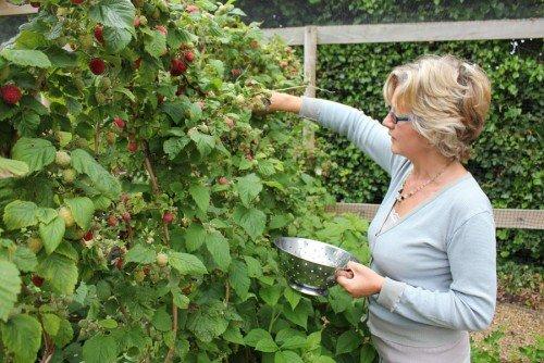 Женщина собирает урожай малины