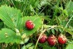 Круглые ягодки клубники