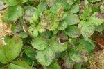 Листья клубники в белых пятнах